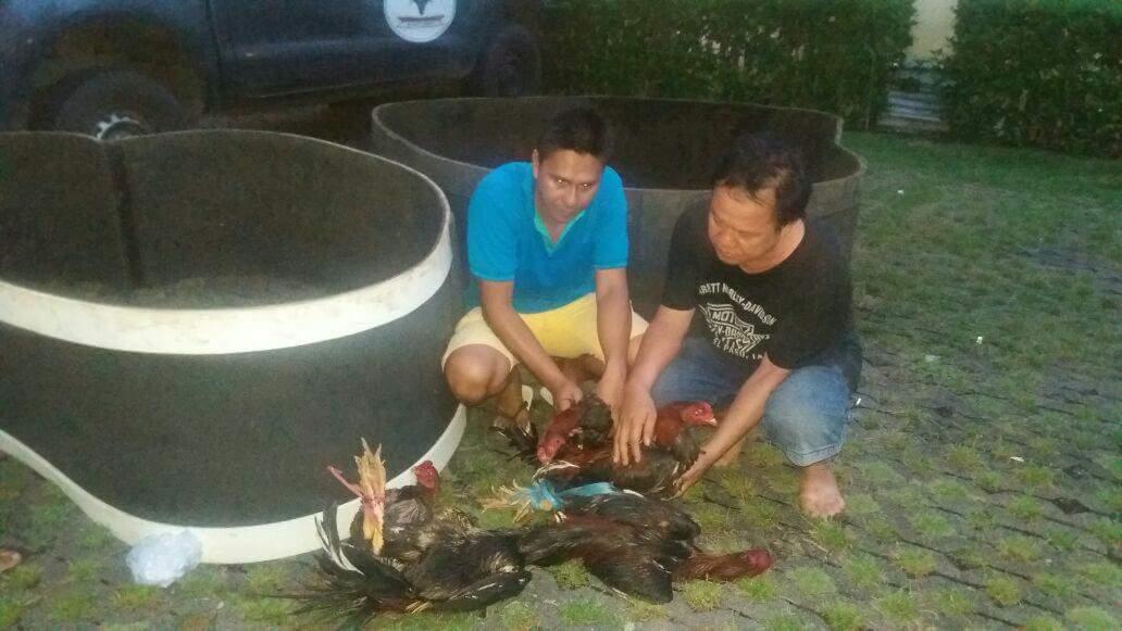 Paniki Bongkar Lokasi Judi Sabung Ayam