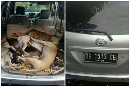 Jelang Pengucapan, Aksi Doger Anjing Mulai Marak di Minsel