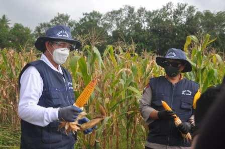 """Hasil """"Manado Bakobong"""" ditengah pandemi, Walikota dan Kapolres panen jagung dan kacang hijau"""